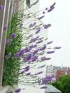Lavender1_1