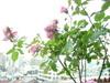 Rose20605